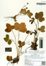 Fragaria yezoensis Hara