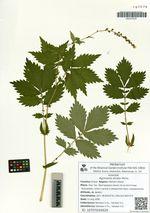 Agrimonia striata Michx.