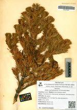 Abies sachalinensis (F.Schmidt) Mast.