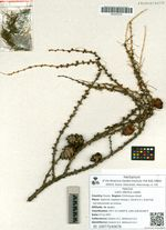 Larix sibirica Ledeb.