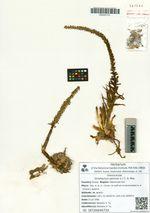 Orostachys spinosa (L.) C. A. Mey.