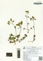 Chrysosplenium grayanum Maxim.