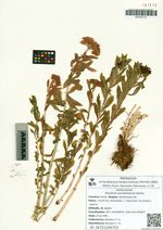 Rhodiola sachalinensis Boriss.