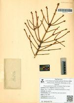 Picea ajanensis (Lindl. & Gordon) Fisch. & Carr.