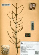 Picea microsperma Carr.