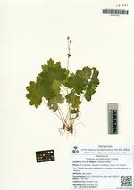 Cortusa sachalinensis Losinsk.