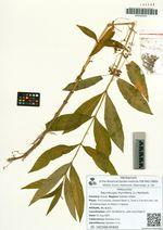 Naumburgia thyrsiflora (L.) Reichenb.