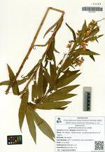 Lysimachia davurica Ledeb.