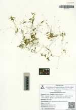 Androsace filiformis Retz.