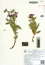 Chamaenerion latifolium (L.) Th. Fries et Lange