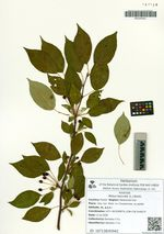 Malus baccata (L.) Borkh.