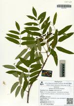 Sorbus amurensis Koehne