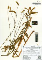 Sanguisorba tenuifolia Fisch. ex Link