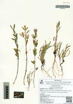 Cuscuta chinensis Lam.