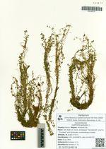 Callitriche palustris L.
