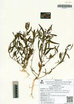Atriplex gmelinii C.A. Mey.
