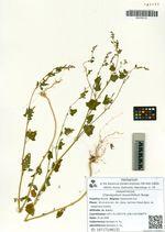 Chenopodium bryoniifolium Bunge