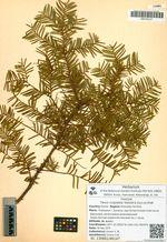 Taxus cuspidata Siebold & Zucc.ex Endl.