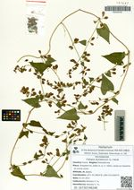 Fallopia dumetorum (L.) Holub