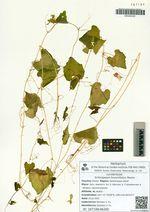 Schizopepon bryoniifolius Maxim.