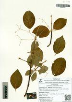 Celastrus orbiculatus Thunb.