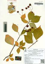 Euonymus maximowicziana Prorh.