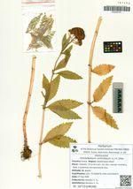 Hylotelephium verticillatum (L.) H. Ohba