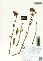 Hylotelephium triphyllum  (Haw.) Holub