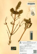 Picea koraiensis Nakai
