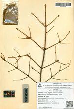 Picea obovata Ledeb.
