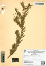 Abies gracilis Kom.
