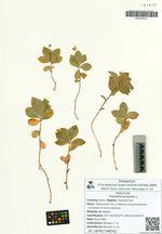 Trientalis europaea L.