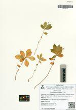 Trientalis europaea L. s.l.