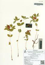 Chamaepericlymenum suecicum (L.) Aschers et Graebn.