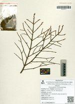 Picea glehnii (F.Schmidt) Mast.