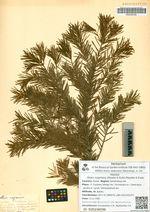 Abies mayriana (Miyabe & Kudo) Mayabe & Kudo