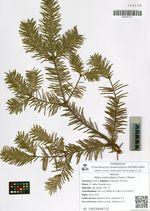 Abies nephrolepis (Trautv.) Maxim.