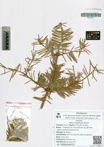 Abies holophylla Maxim.
