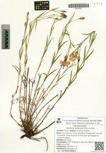 Dianthus versicolor Fisch. ex Link