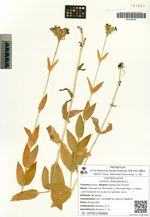 Lychnis chalcedonica L.