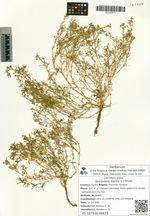 Spergularia marina (L.) Griseb.