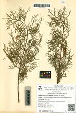 Cupressus duclouxiana Hickel