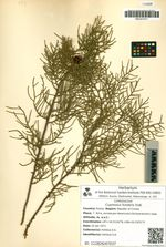 Cupressus funebris Endl.