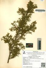 Cupressus macrocarpa Hartw.