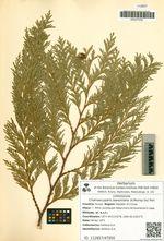 Chamaecyparis lawsoniana (A.Murray bis) Parl.