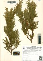 Chamaecyparis pisifera (Siebold & Zucc.) Endl.