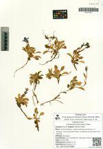 Campanula lasiocarpa Cham.