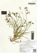 Campanula langsdorffiana Fisch.ex Trautv. et Mey