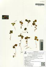 Peracarpa circaeoides (Fr. Schmidt) Feer
