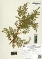Juniperus sibirica Burgsd.
